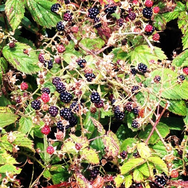 august blackberries