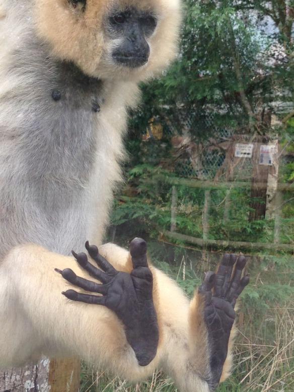 Vietta gibbon Monkey World