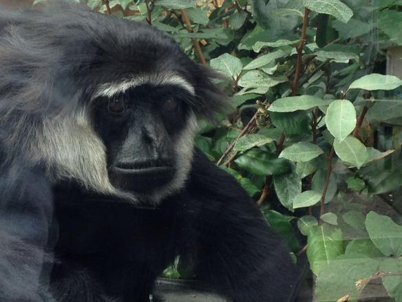 Paul the gibbon monkey world